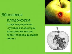 Уничтожить плодожорку – можно!