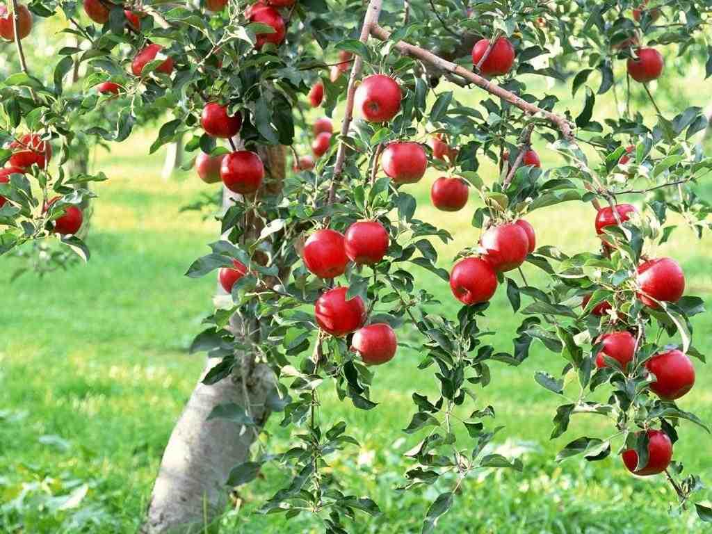 Почему яблоня плохо плодоносит