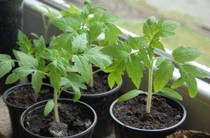 Важное о рассаде томатов
